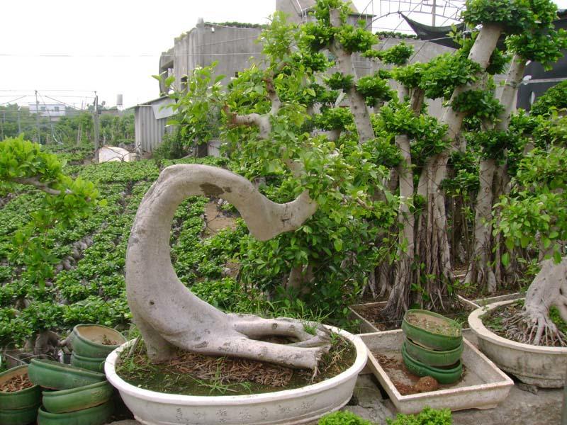 漳浦连龙榕树盆景绿化场