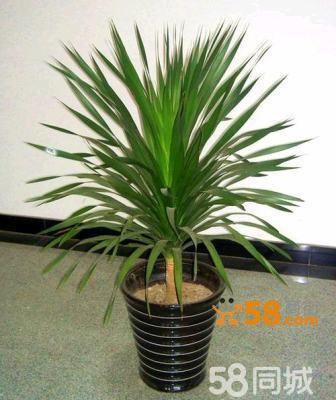 去看看龙血树净化空气吸收甲醛室内办公室客厅大型盆栽植物花卉绿植盆