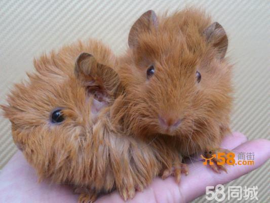 长不大的可爱小宠物短逆毛荷兰猪天竺鼠mm