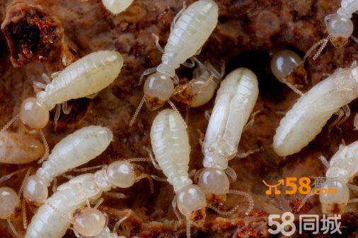 白蚁病毒的危害是什么图片