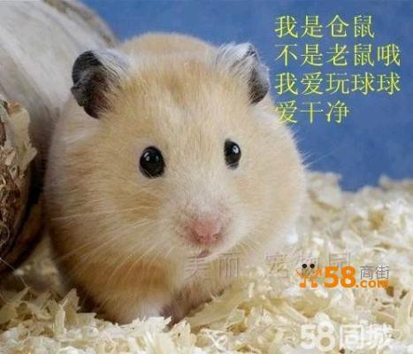 活体动物小仓鼠另类宠物鼠可爱宝宝腮鼠 布丁宝宝